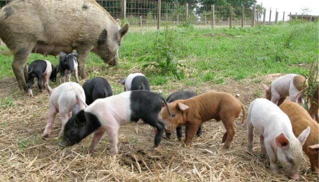 Wirtshaus Jagawirt - Schweine die sich sauwohl fühlen
